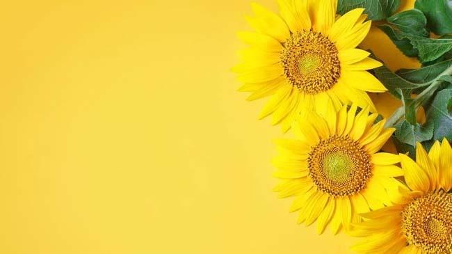 Ayçiçeği Yağı içeren formül ile Saçlarına ve Cildine Işıltı Kat